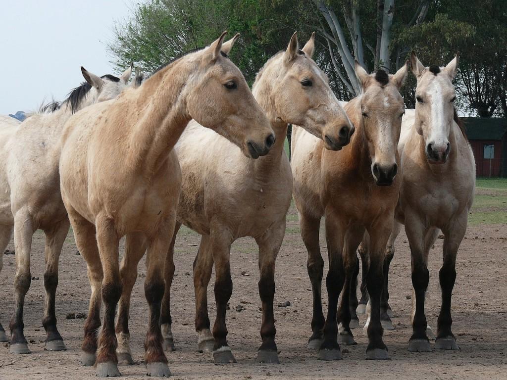 horses-893033_1280